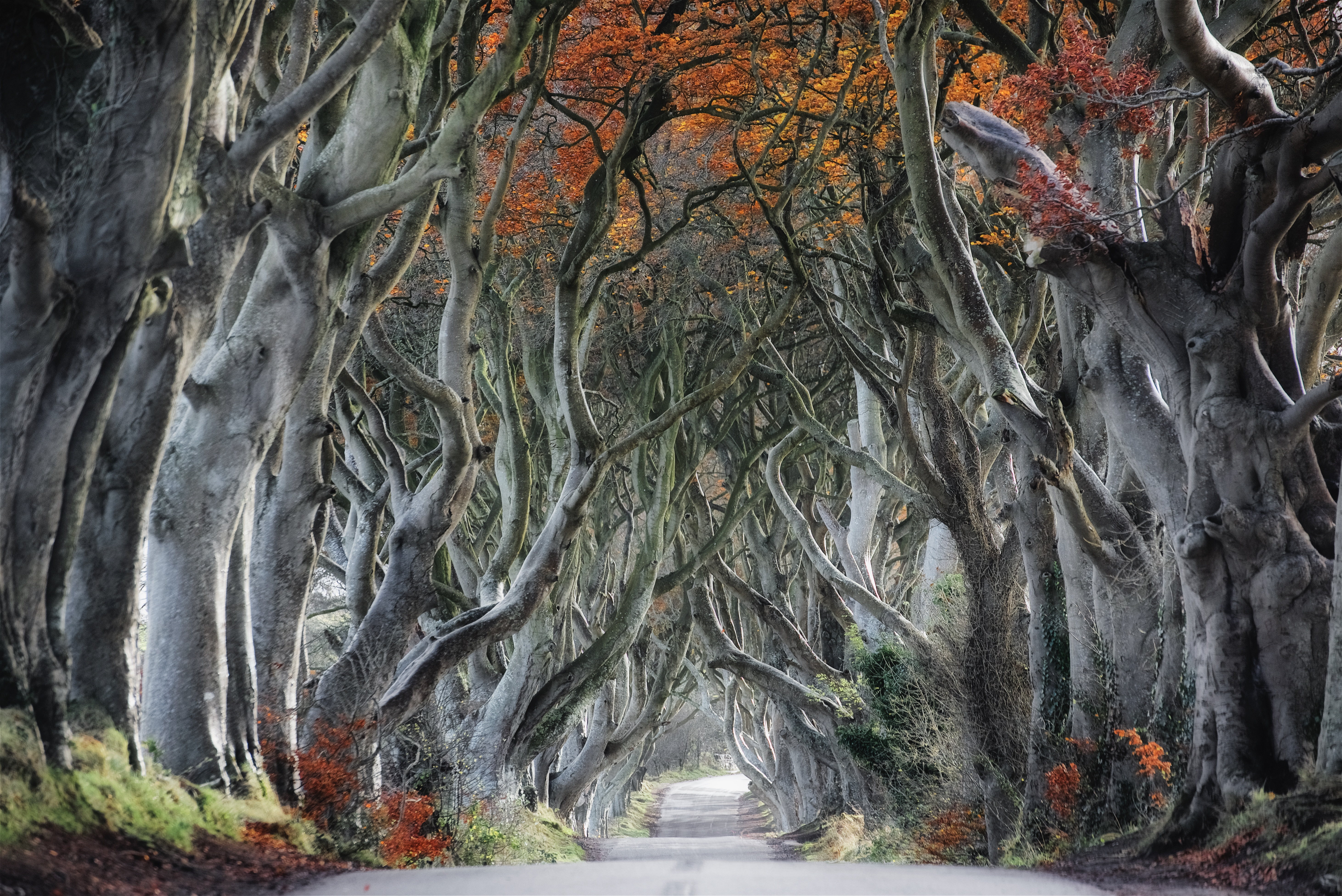 The Dark Hedges of Northern Ireland's County Antrim