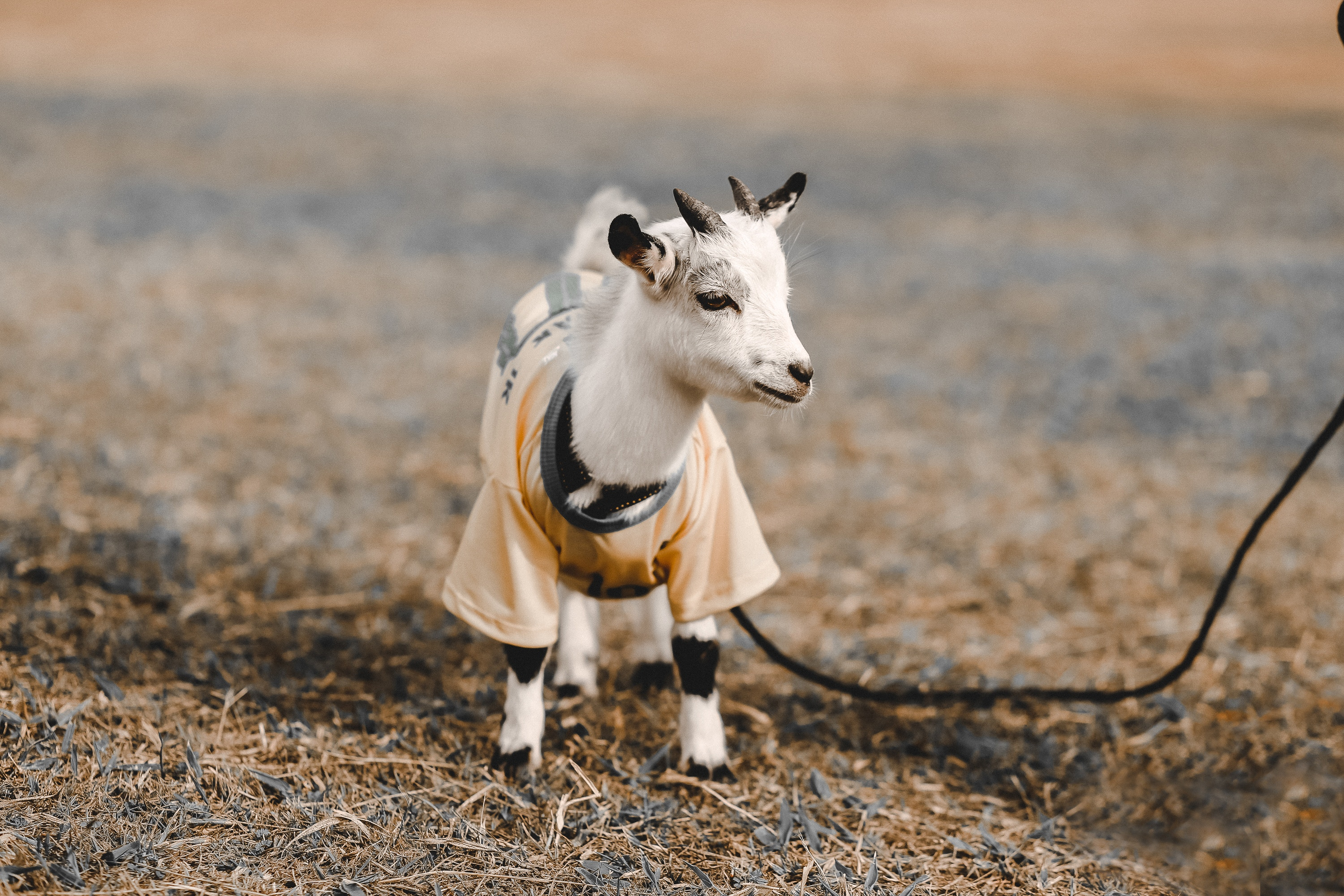 Sorry, no matter how cute the outfit is, goats don't count as emotional support animals aboard WestJet!